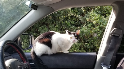 Cat_in_car